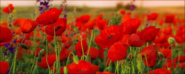 Glasbild Summer poppy field (BH 125x50 cm)