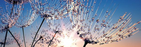 Glasbild Soft Dandelion VII