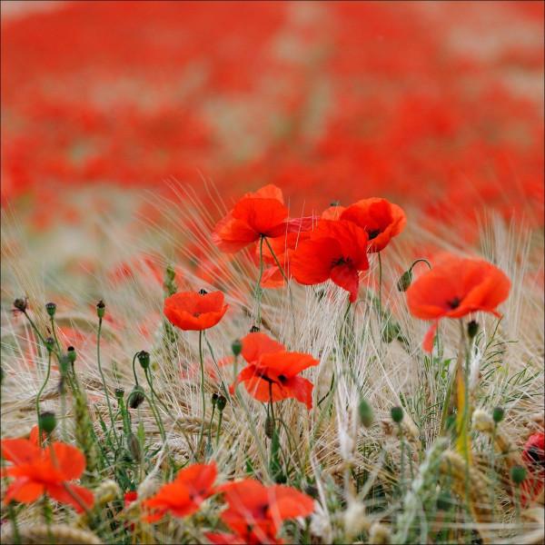 Glasbild RED FLOWERS